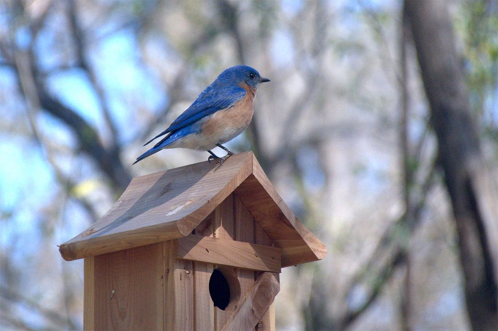 The Eastern Bluebird is back and Celadon residents couldn't be happier!